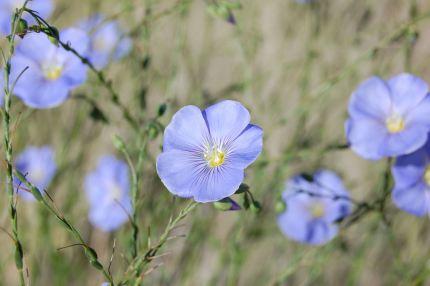 flaxflowers