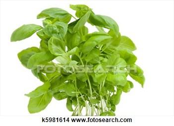fresh-basil-plant_~k5981614