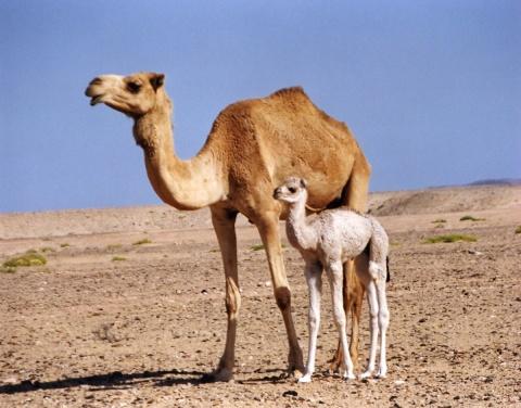 camel-07