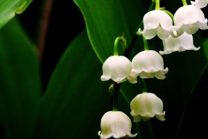 Lily_of_the_Valley_2_by_Degenetron