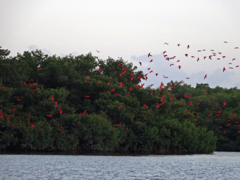scarlet-ibis-trinidad-and-tobago